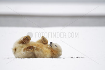 Polar bear (Ursus maritimus) young lying in snow  Barter Island  North of the Arctic Circle  Alaska.
