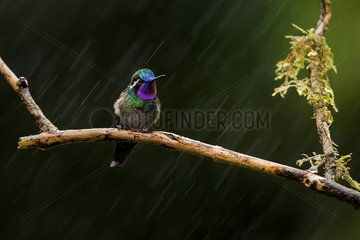 Purple-throated Mountain-gem (Lampornis calolaemus)  male in the rain  Costa Rica