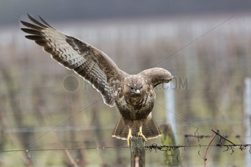 Common buzzard (Buteo buteo) on a stake in a vineyard  France