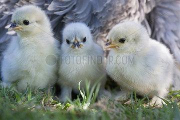 Bantam chicken and chicks  Vosges  France