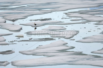 Common Eider on the sea ice in summer - Greenland