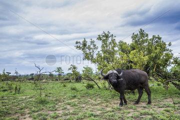 Cape buffalo (Syncerus caffer) in savana  Kruger national park  South Africa