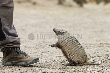 Hairy armadillo (Chaetophractus villosus)  standing next to man  Punta Norte  Valdes Peninsula  Argentina