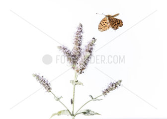 Nymphalidae butterfly flying to a flowering Lamiaceae