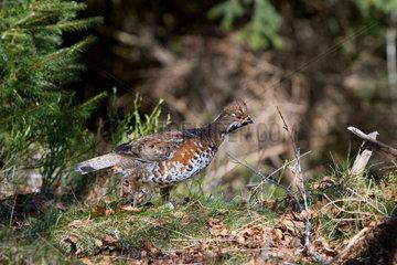 Hazel grouse male on ground - Vosges France