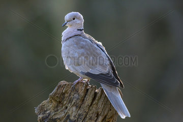 Turtle dove (Streptopelia decaocto) On a stump in winter  Country garden  Lorraine  France