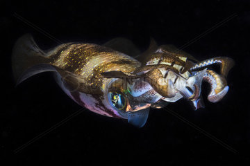 Bigfin reef squid (Sepioteuthis lessoniana) at night  Indian Ocean  Mayotte