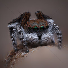 A male Maratus pardus Peacock jumping spider .