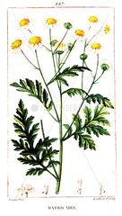 Botanical drawing of german chamomile