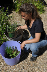 Plantation of aromatic plants in a container