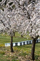Orchards of blooming almond trees  Venasque  Provence  France