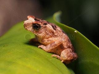 Crested Toad - Tawau Hills Malaysia
