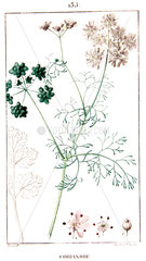 Botanical drawing of coriander