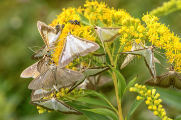 Box Tree Moth (Cydalima perspectalis) imagos feeding in autumn of the nectar of Canada goldenrod (Solidago canadensis)  Bugey  France