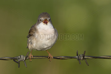 Whitethroat (Sylvia communis) Whitethroat perched on a barbed wire and displaying  England  Spring