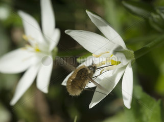 Bee fly gathering nectar Garden star of Bethlehem - France