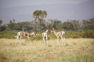 Grant's gazelles (Gazella granti)  Samburu  Kenya