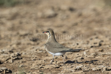 Collared Pratincole (Glareola pratincola) on the ground in a drained basin of old salins in spring  Salins de Hyeres  Mediterranean Coast  France
