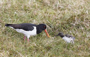 Oystercatcher (Haematopus ostralegus) Adult feeding his chicks Shetland  Spring