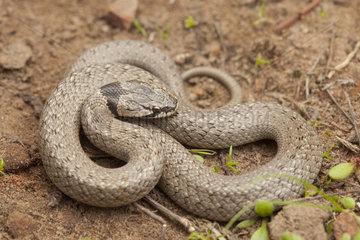 False Smooth Snake (Macroprotodon brevis brevis)  Morocco