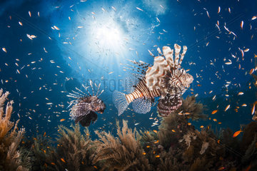 Lionfishes (Pterois sp.) swimming above the reef  Moheli  Co Moros