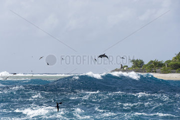 Bottlenose dolphin (Tursiops truncatus) Feeding bottlenose dolphins Rangiroa French Polynesia.