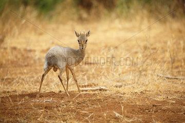 Kirk's dik-dik (Madoqua kirkii)  Samburu  Kenya