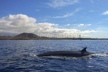 Bryde's whale (Balaenoptera brydei  edeni)  Coast of Punta Rasca  Tenerife  Canary Islands.