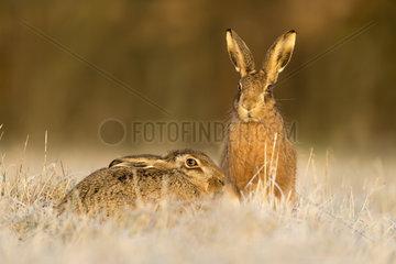 Brown hare (Lepus europaeus) Hare amongst Frozen grass  Aston Clinton  England  Summer