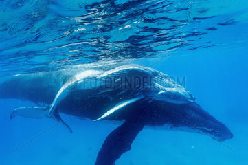 Humpback whale (megaptera novaeangliae) A baby humpback with attendant remoras.Tonga