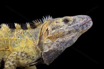 Mexican spiny-tailed iguana (Ctenosaura pectinata)  Mexico