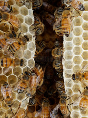 Honey bee (Apis mellifera) - The bees are busy building a new wax comb. They start at the top and little by little connect the vertical honey combs.