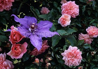 Rose-tree 'Paul Transon' and Clematis in bloom in a garden