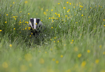 Badger (Meles meles) looking for food in a meadow  England