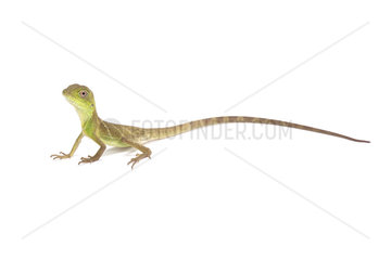 Chinese water dragon (Physignathus cocincinus) on white background