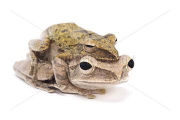 Golden gliding frog (Polypedates leucomystax ) mating on white background