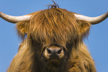 Highland cow  Highlands  Scotland