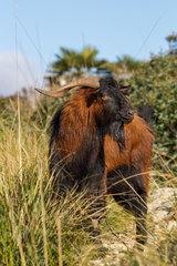 Mallorcan Wild Goat (Capra aegagrus)  Serra de Tramuntana  Mallorca  Spain