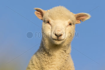 Sheep (Ovis aries) Young sheep head details  Shetland  Spring