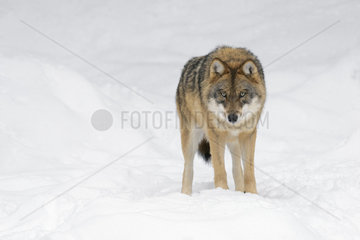 European Wolf  Canis lupus  Bavarian Forest National Park  Germany  Europe