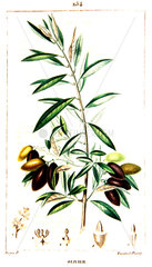 Botanical drawing of olive tree branch