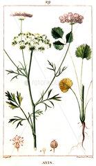 Botanical drawing of anise burnet saxigrage
