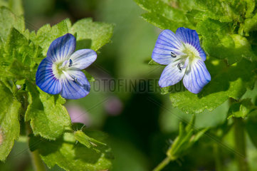 Birdeye speedwell (Veronica persica) flowers