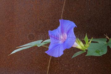 Morning glory (Ipomoea grandiflora)