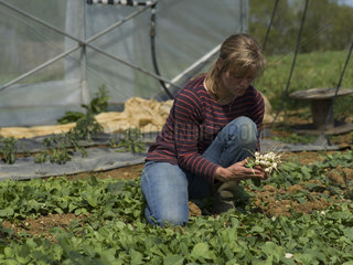 Harvest of radishes 'Glacon' at Les jardins de Theia