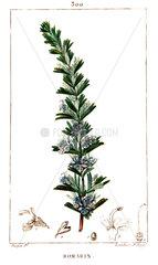 Botanical drawing of rosemary