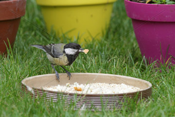 Great Tit (Parus major) eating in a bowl