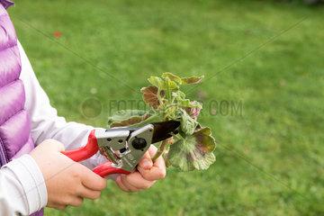 Little girl taking a cutting from pelargonium