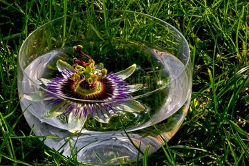 Bluecrown Passionflower (Passiflora caerulea). The flower in a water bowl. Balaguer. Noguera. Lleida. Pyrenees. Catalonia. Spain.
