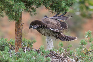 Short-toed Snake Eagle (Circaetus gallicus) Juvenile in the nest  flight training  southern France